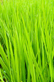 Green paddy rice field Royalty Free Stock Images