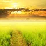 Green paddy rice in field and sky sunset Stock Images