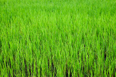 Green Paddy Royalty Free Stock Images