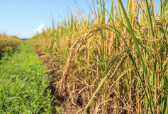 Green paddy rice plant and blue sky Royalty Free Stock Photo