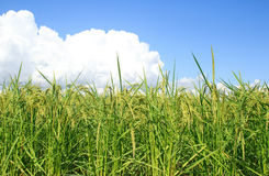 Green paddy rice plant and blue sky Royalty Free Stock Photos
