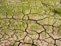 Green paddy rice seedlings and Dry soil is rift. Stock Photography