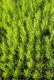 Green paddy rice Stock Image