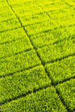 Green paddy seedling farm Royalty Free Stock Photos