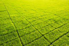 Green paddy seedling farm Stock Image