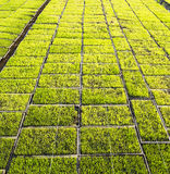 Green paddy seedling farm Royalty Free Stock Photos
