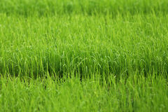 Green paddy seedlings Royalty Free Stock Image