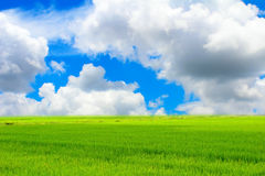 Green paddy and sky Royalty Free Stock Images