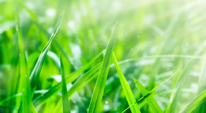 Green Paddy texture. Uploaded 2017 Stock Image