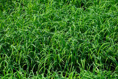 Green Paddy texture. Uploaded 2017 Royalty Free Stock Images
