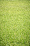 Green paddy Stock Image
