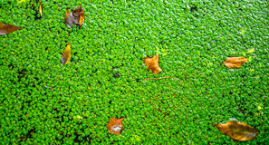 Green pads with dry leaves on lake Royalty Free Stock Photo