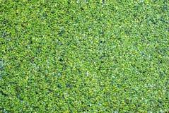 Green pads on lake warm tone Royalty Free Stock Image