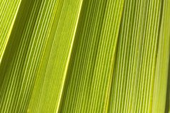 Green Palm. Vertical close-up of backlit green palm Stock Images