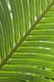Green Palm. Close-up horizontal image of green palm leaves Stock Photos