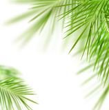 Green palm. Tree leafs isolated over white stock photo