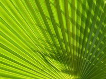 Green palm background. Beautiful green palm leaf background with backlighting stock images