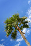 Green palm blue sky Royalty Free Stock Image