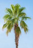 Green palm. Royalty Free Stock Photography