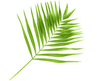 Green palm branch Royalty Free Stock Photos