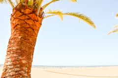Green Palm Canarian Tree. On the Blue Sky Background royalty free stock image