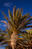 Green Palm Canarian Tree Royalty Free Stock Photo