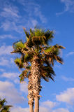 Green Palm Canarian Tree Royalty Free Stock Photography