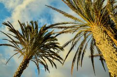 Green Palm Canarian Tree Stock Photography