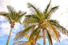Green Palm Canarian Tree Royalty Free Stock Photos