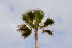 Green Palm Canarian Tree Royalty Free Stock Images