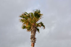 Green Palm Canarian Tree Royalty Free Stock Image