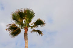 Green Palm Canarian Tree Stock Photos