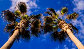 Green Palm Canarian Tree Stock Image