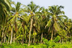 Green Palm Forest in Colombian Island Mucura Stock Image