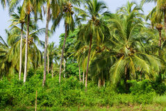 Green Palm Forest in Colombian Island Mucura Stock Photos