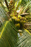 Green Palm Forest in Colombian Island Mucura Royalty Free Stock Images