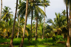 Green Palm Forest in Colombian Island Mucura Royalty Free Stock Image