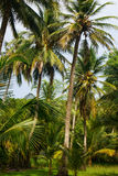 Green Palm Forest in Colombian Island Mucura Stock Images