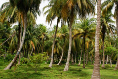 Green Palm Forest in Colombian Island Mucura Royalty Free Stock Photography