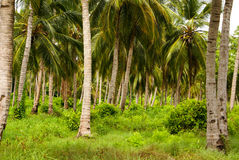 Green Palm Forest in Colombian Island Mucura Royalty Free Stock Photos