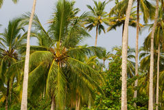 Green Palm Forest in Colombian Island Mucura Stock Photography