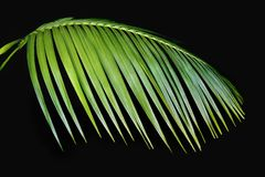 Green Palm Frond Agasint Black Stock Image