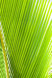 Green palm frond closeup. Photo of green palm branches close-up Royalty Free Stock Images