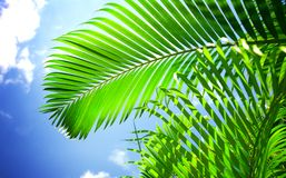 Green palm fronds against  blue sky Stock Photo
