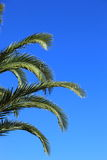 Green palm fronds against a blue sky Stock Photo