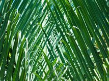 Green Palm Fronds Background. From Hawaii stock photo