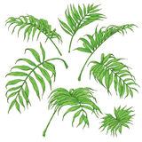 Green Palm Fronds Sketch Royalty Free Stock Image
