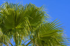 Green palm fronds Royalty Free Stock Image