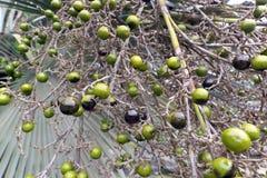 Green palm fruit stock image