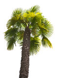 Green palm isolated on white Stock Image